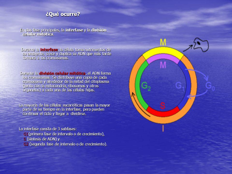 ¿Qué ocurre En dos fase principales, la interfase y la división celular mitótica.