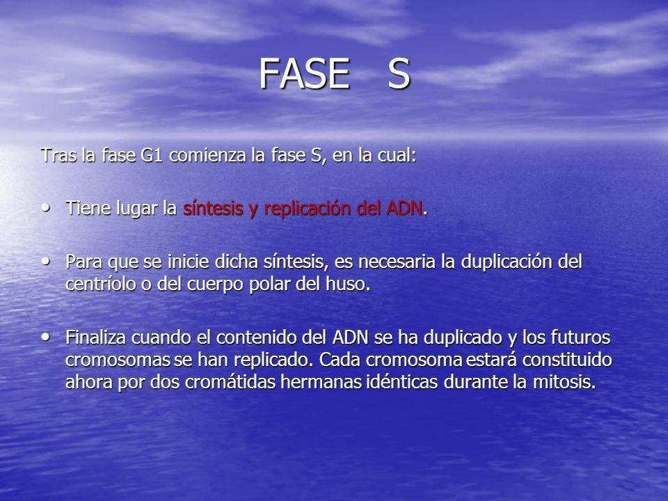 FASE S Tras la fase G1 comienza la fase S, en la cual: