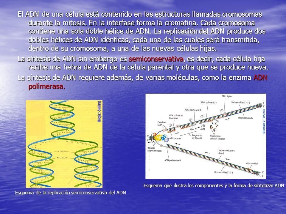 El ADN de una célula está contenido en las estructuras llamadas cromosomas durante la mitosis. En la interfase forma la cromatina. Cada cromosoma contiene una sola doble hélice de ADN. La replicación del ADN produce dos dobles hélices de ADN idénticas, cada una de las cuales será transmitida, dentro de su cromosoma, a una de las nuevas células hijas.