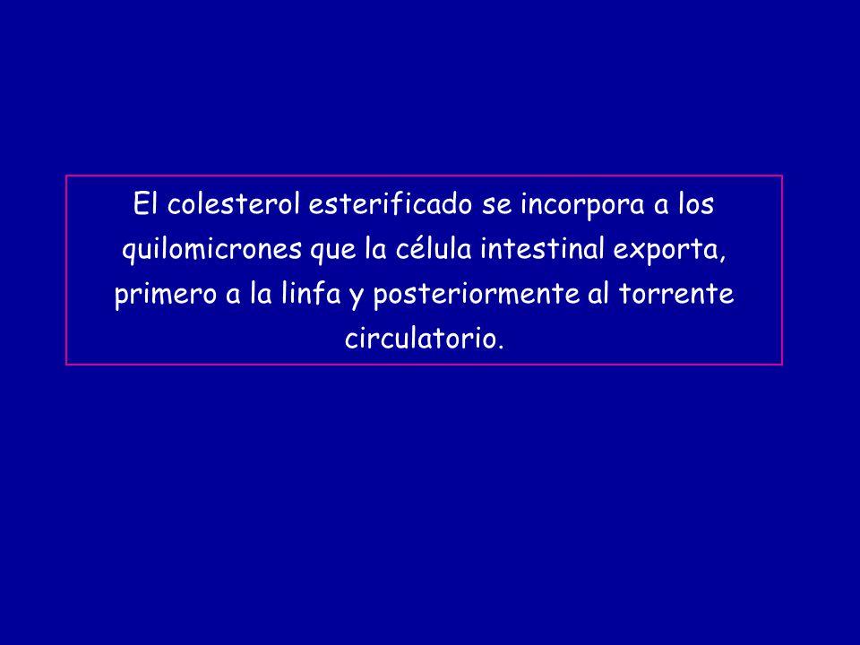 El colesterol esterificado se incorpora a los quilomicrones que la célula intestinal exporta, primero a la linfa y posteriormente al torrente circulatorio.