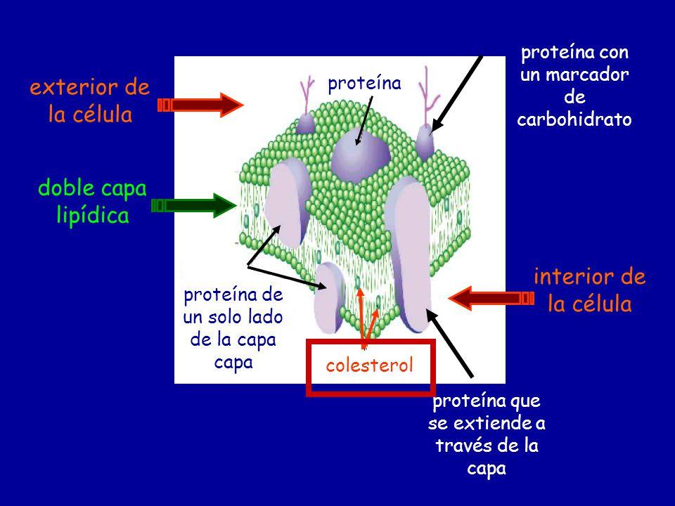 exterior de la célula doble capa lipídica interior de la célula