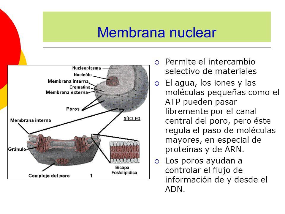Membrana nuclear Permite el intercambio selectivo de materiales