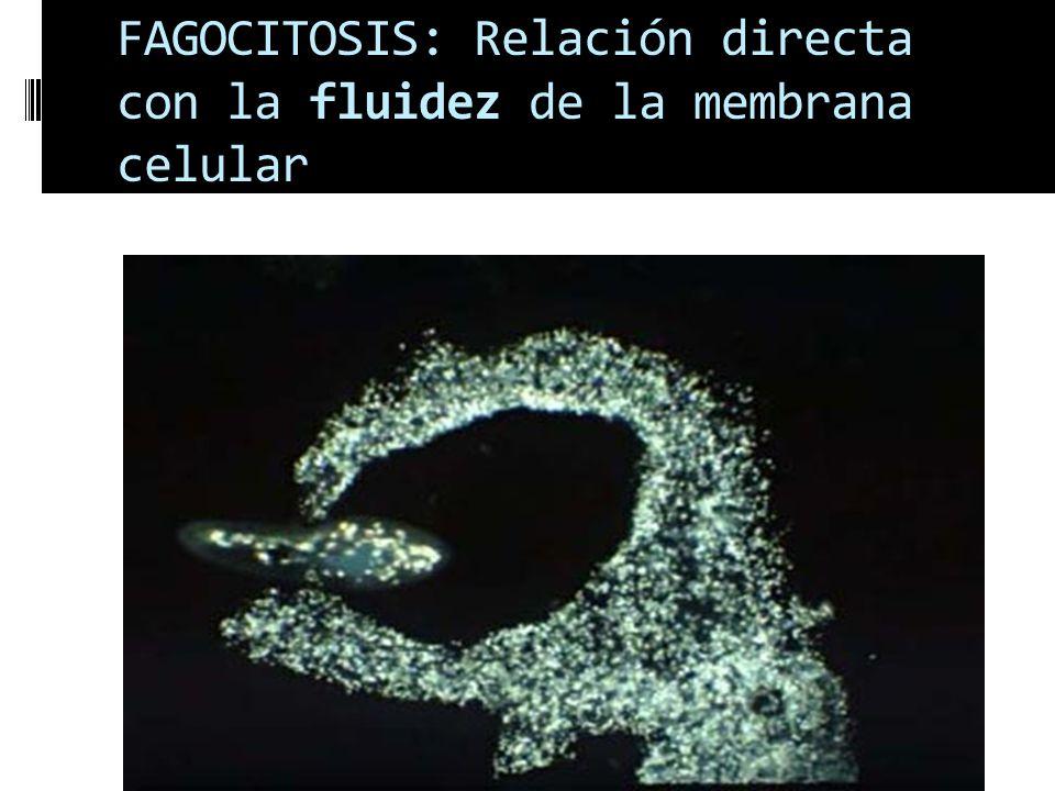 FAGOCITOSIS: Relación directa con la fluidez de la membrana celular