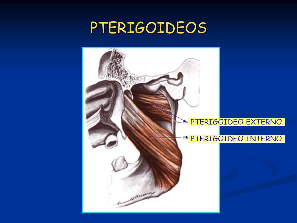 PTERIGOIDEOS PTERIGOIDEO EXTERNO PTERIGOIDEO INTERNO