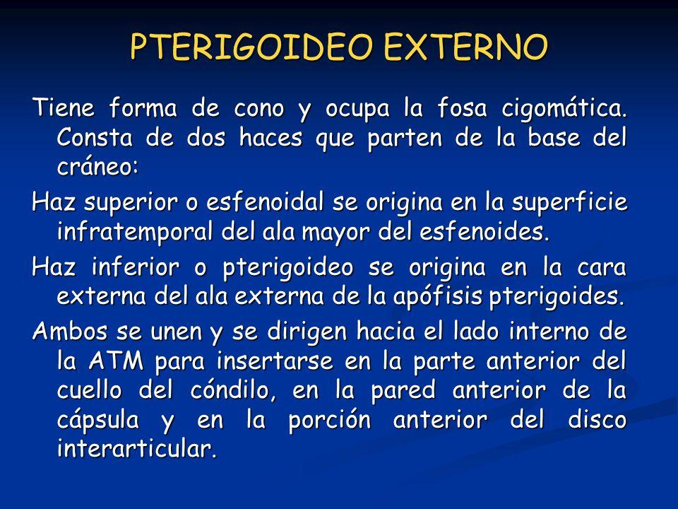 PTERIGOIDEO EXTERNO Tiene forma de cono y ocupa la fosa cigomática. Consta de dos haces que parten de la base del cráneo: