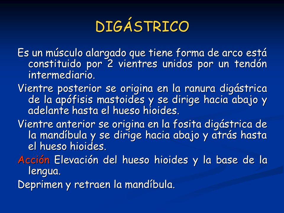 DIGÁSTRICO Es un músculo alargado que tiene forma de arco está constituido por 2 vientres unidos por un tendón intermediario.