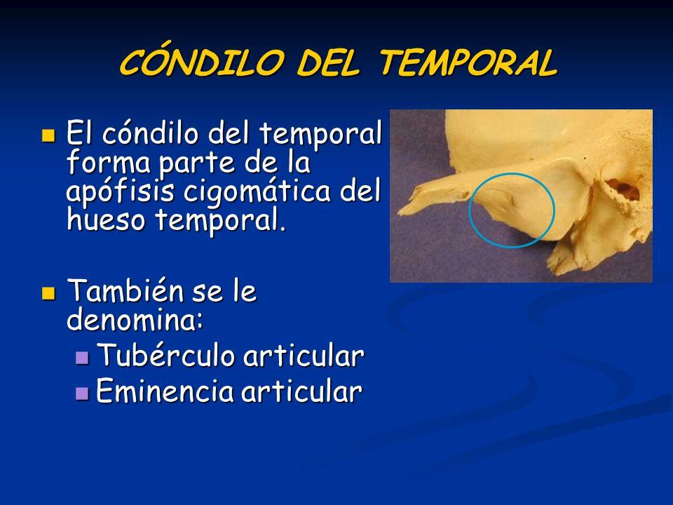 CÓNDILO DEL TEMPORAL El cóndilo del temporal forma parte de la apófisis cigomática del hueso temporal.