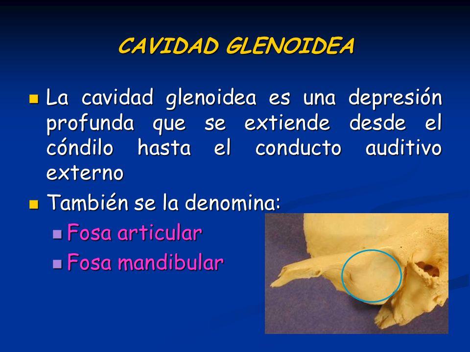 CAVIDAD GLENOIDEA La cavidad glenoidea es una depresión profunda que se extiende desde el cóndilo hasta el conducto auditivo externo.