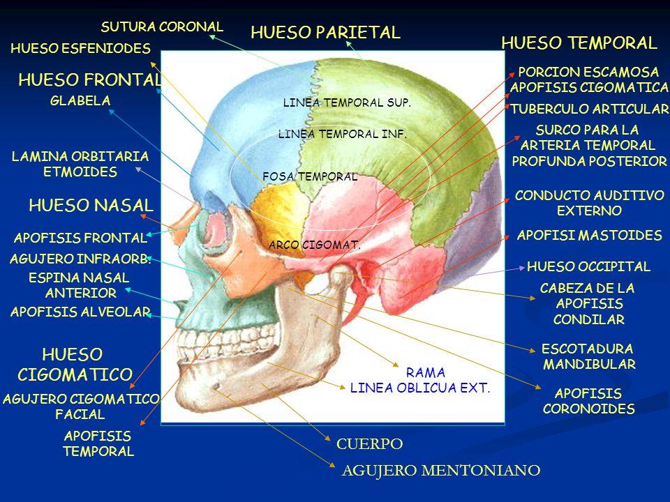 HUESO PARIETAL HUESO TEMPORAL HUESO FRONTAL HUESO NASAL HUESO