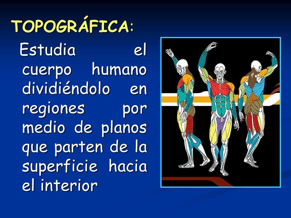 TOPOGRÁFICA: Estudia el cuerpo humano dividiéndolo en regiones por medio de planos que parten de la superficie hacia el interior.
