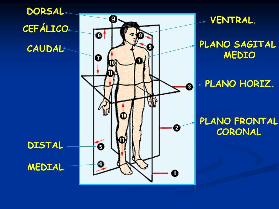 DORSAL VENTRAL. CEFÁLICO PLANO SAGITAL CAUDAL MEDIO PLANO HORIZ.