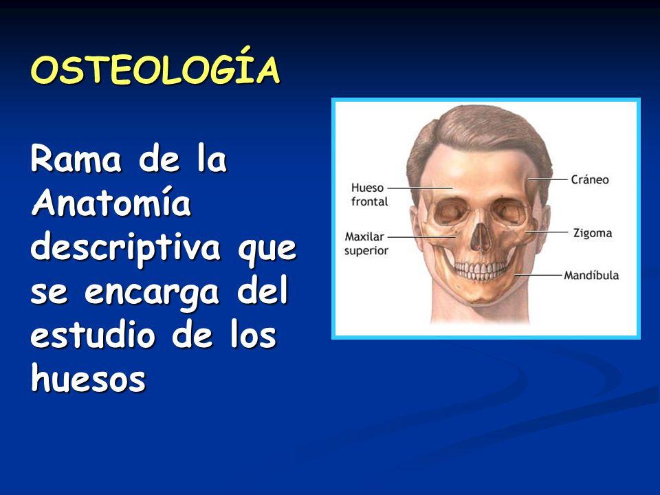 OSTEOLOGÍA Rama de la Anatomía descriptiva que se encarga del estudio de los huesos