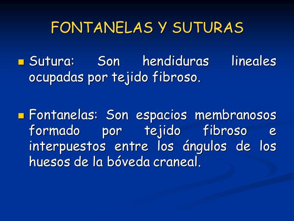 FONTANELAS Y SUTURAS Sutura: Son hendiduras lineales ocupadas por tejido fibroso.