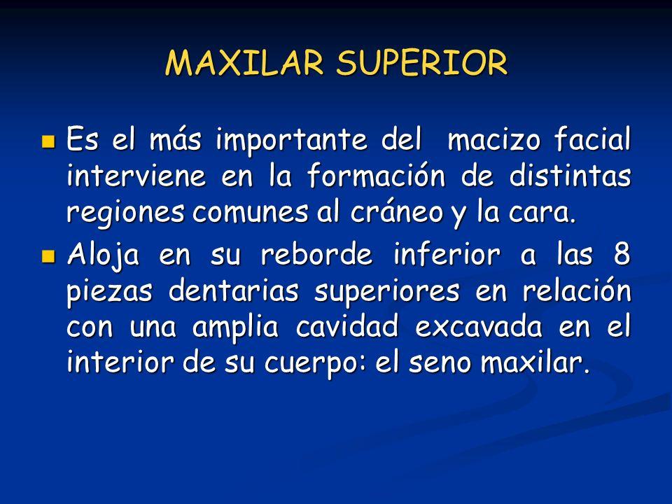 MAXILAR SUPERIOR Es el más importante del macizo facial interviene en la formación de distintas regiones comunes al cráneo y la cara.