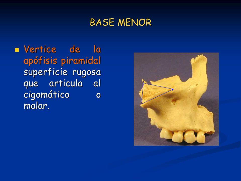 BASE MENOR Vertice de la apófisis piramidal superficie rugosa que articula al cigomático o malar.