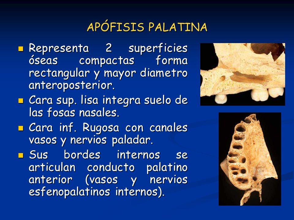 APÓFISIS PALATINA Representa 2 superficies óseas compactas forma rectangular y mayor diametro anteroposterior.