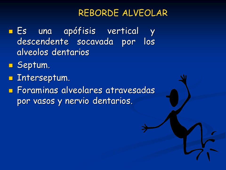 REBORDE ALVEOLAR Es una apófisis vertical y descendente socavada por los alveolos dentarios. Septum.