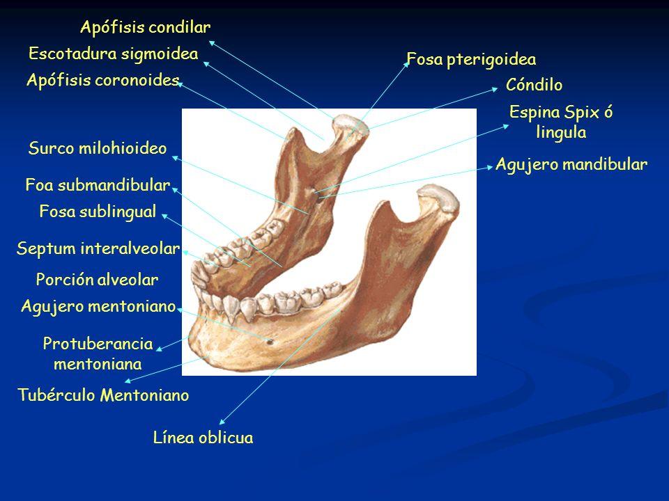 Tubérculo Mentoniano Línea oblicua. Apófisis coronoides. Apófisis condilar. Espina Spix ó. lingula.