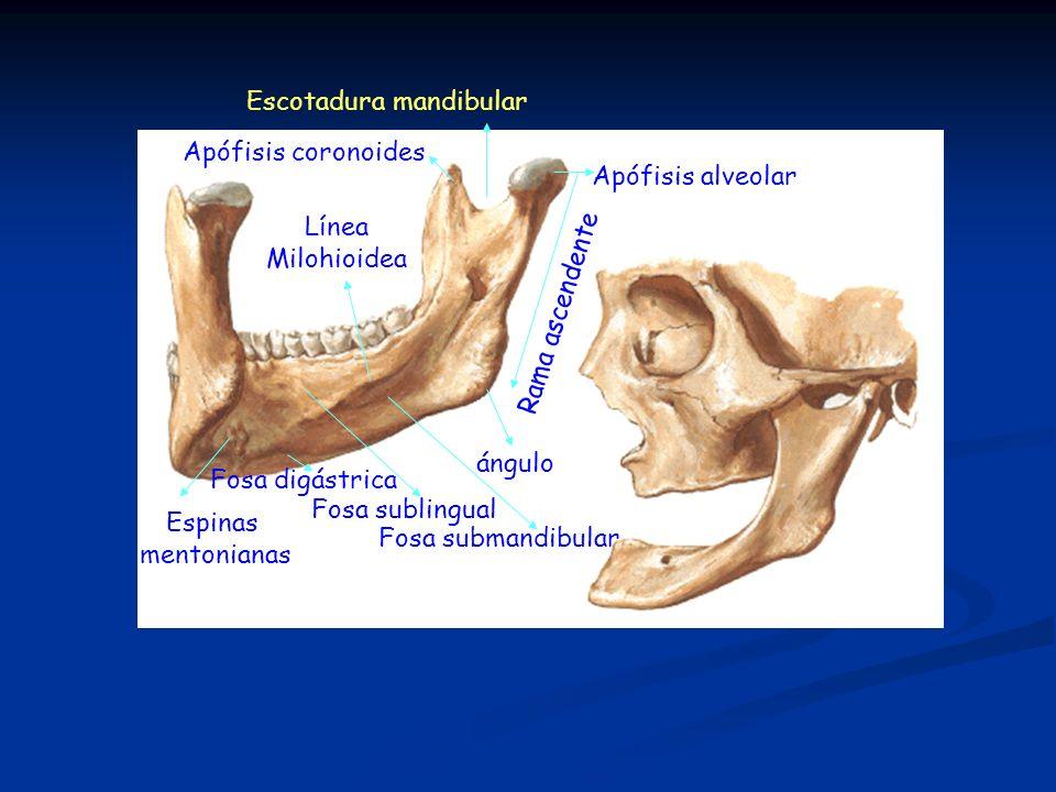 Escotadura mandibular