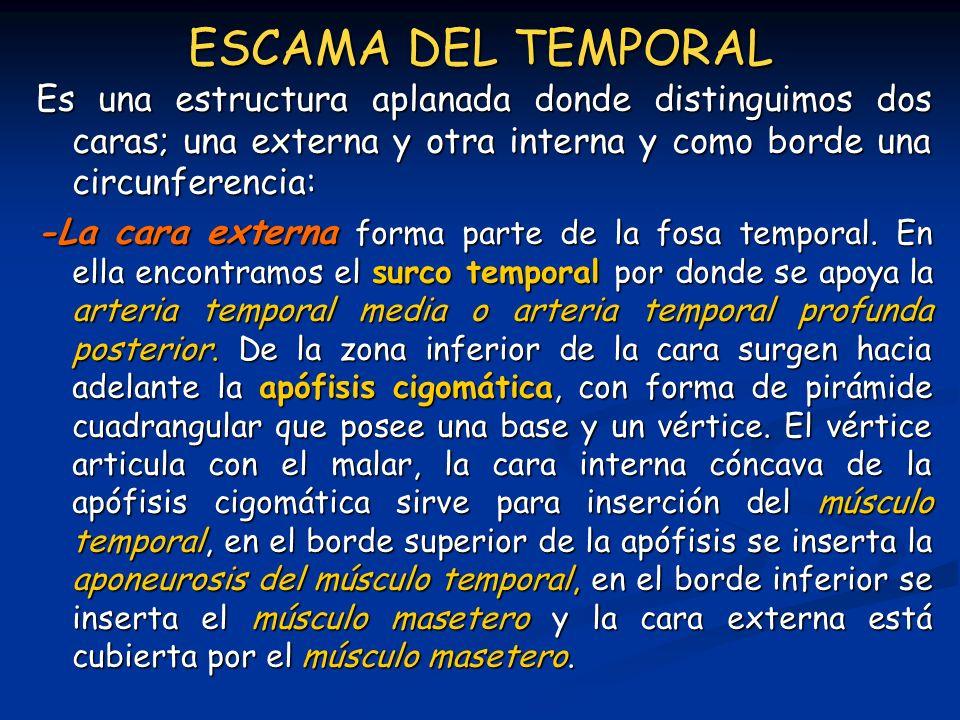 ESCAMA DEL TEMPORAL Es una estructura aplanada donde distinguimos dos caras; una externa y otra interna y como borde una circunferencia: