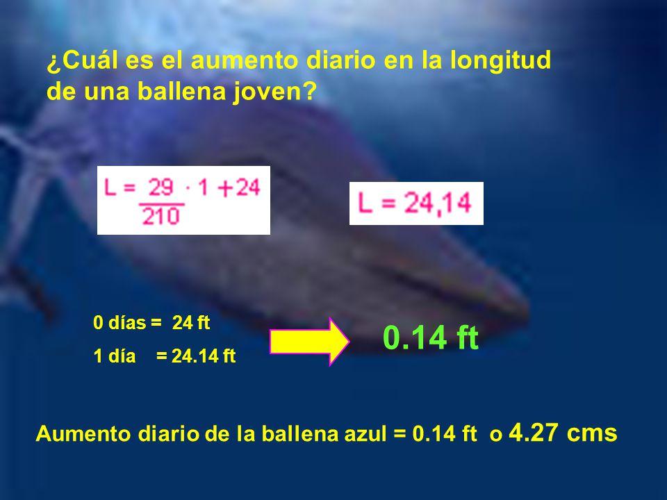 ¿Cuál es el aumento diario en la longitud de una ballena joven