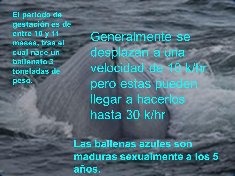 El periodo de gestación es de entre 10 y 11 meses, tras el cual nace un ballenato 3 toneladas de peso.