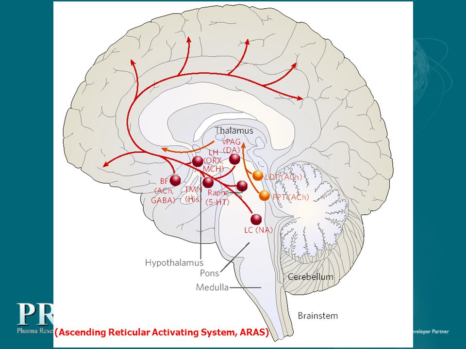 (Ascending Reticular Activating System, ARAS)
