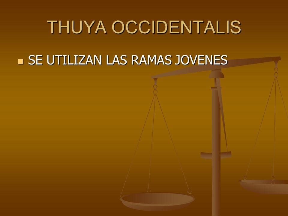 THUYA OCCIDENTALIS SE UTILIZAN LAS RAMAS JOVENES