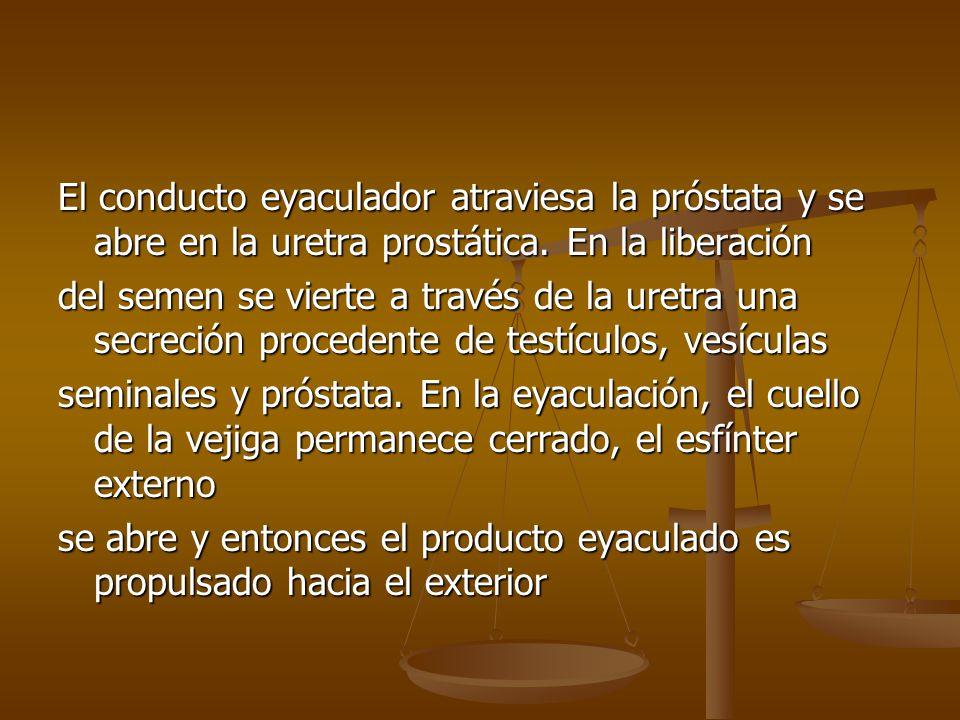 El conducto eyaculador atraviesa la próstata y se abre en la uretra prostática. En la liberación