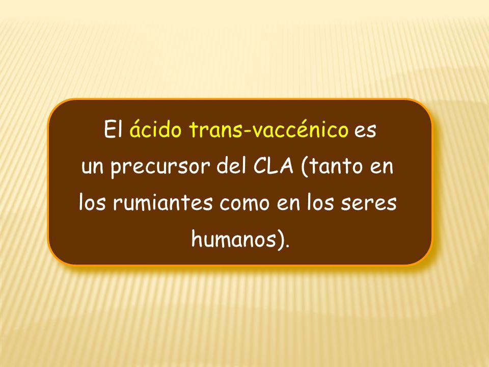 El ácido trans-vaccénico es un precursor del CLA (tanto en