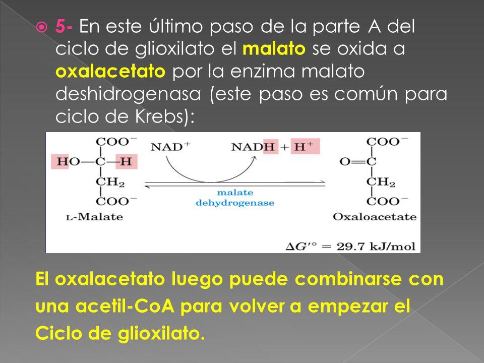 5- En este último paso de la parte A del ciclo de glioxilato el malato se oxida a oxalacetato por la enzima malato deshidrogenasa (este paso es común para ciclo de Krebs):
