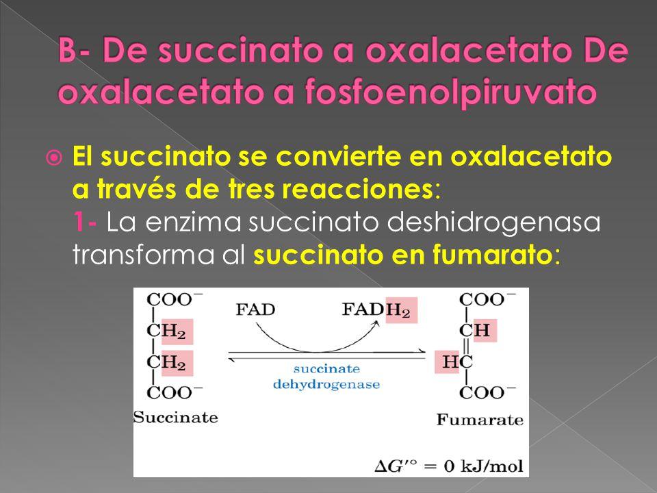 B- De succinato a oxalacetato De oxalacetato a fosfoenolpiruvato