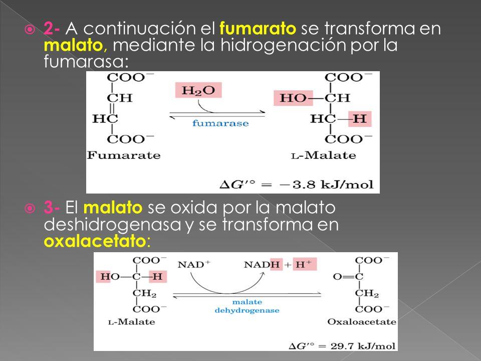 2- A continuación el fumarato se transforma en malato, mediante la hidrogenación por la fumarasa: