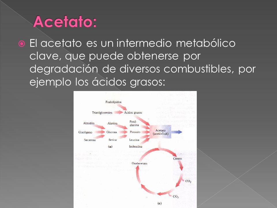 Acetato: El acetato es un intermedio metabólico clave, que puede obtenerse por degradación de diversos combustibles, por ejemplo los ácidos grasos: