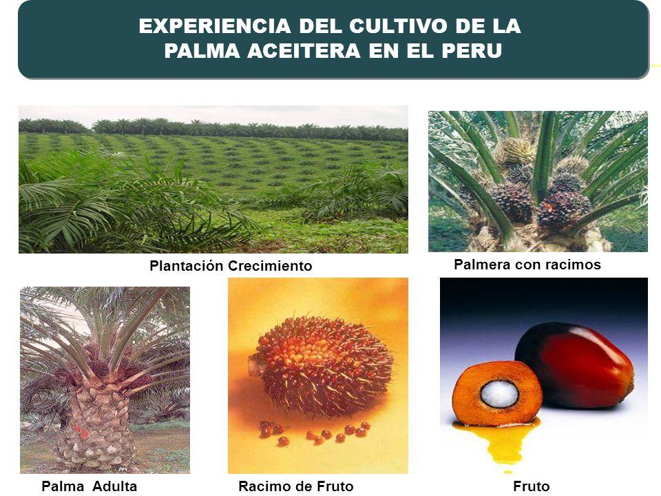 EXPERIENCIA DEL CULTIVO DE LA PALMA ACEITERA EN EL PERU