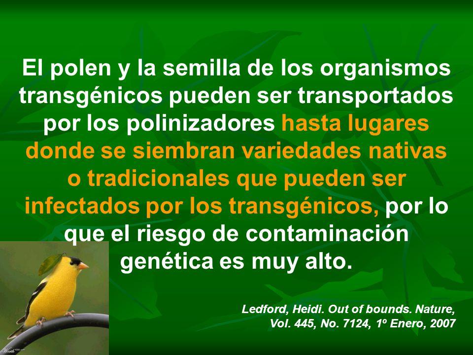 El polen y la semilla de los organismos transgénicos pueden ser transportados por los polinizadores hasta lugares donde se siembran variedades nativas o tradicionales que pueden ser infectados por los transgénicos, por lo que el riesgo de contaminación genética es muy alto.