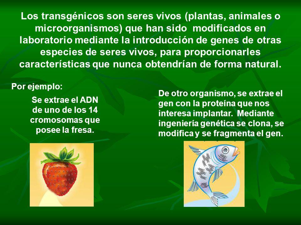Se extrae el ADN de uno de los 14 cromosomas que posee la fresa.