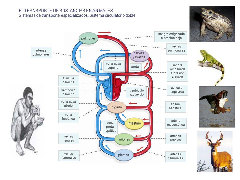 EL TRANSPORTE DE SUSTANCIAS EN ANIMALES