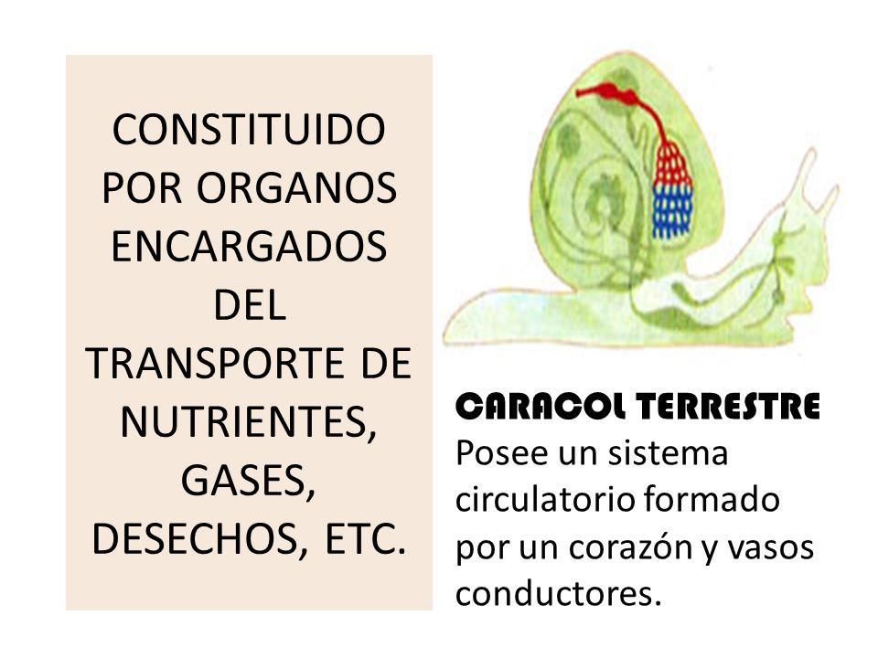 CONSTITUIDO POR ORGANOS ENCARGADOS DEL TRANSPORTE DE NUTRIENTES, GASES, DESECHOS, ETC.