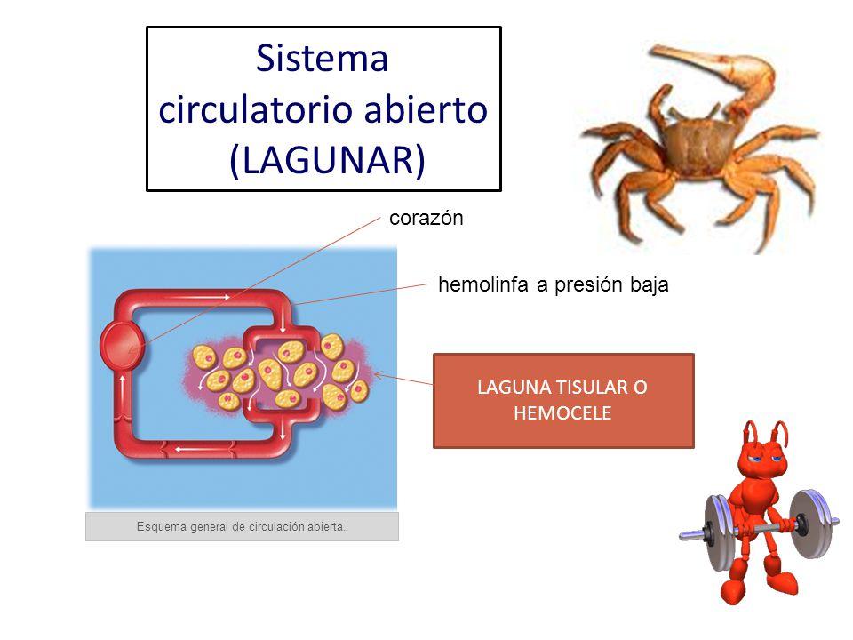 Sistema circulatorio abierto (LAGUNAR)