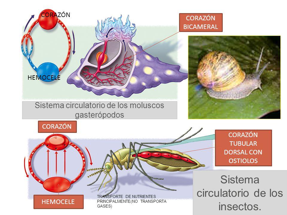 Sistema circulatorio de los insectos.