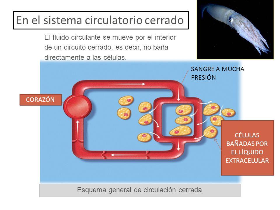 En el sistema circulatorio cerrado