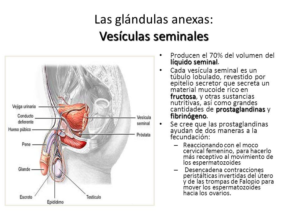 Las glándulas anexas: Vesículas seminales