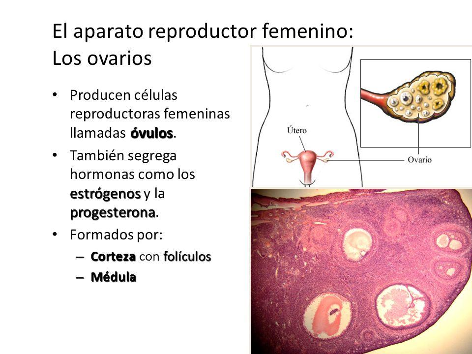 El aparato reproductor femenino: Los ovarios