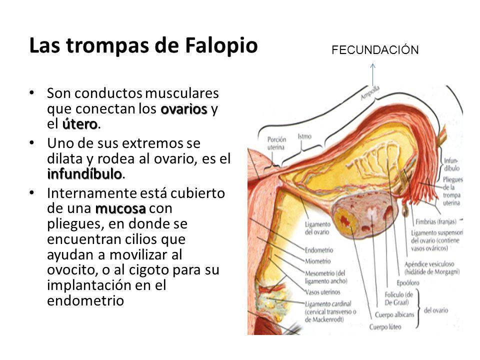 Las trompas de Falopio FECUNDACIÓN. Son conductos musculares que conectan los ovarios y el útero.