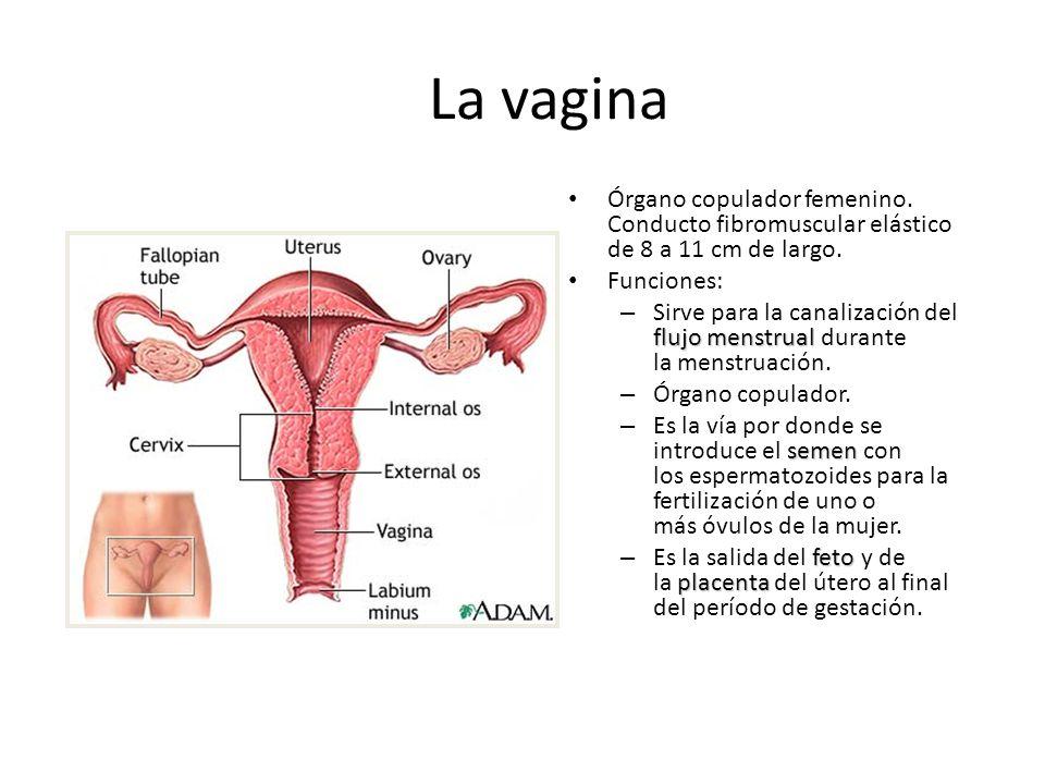 La vagina Órgano copulador femenino. Conducto fibromuscular elástico de 8 a 11 cm de largo. Funciones: