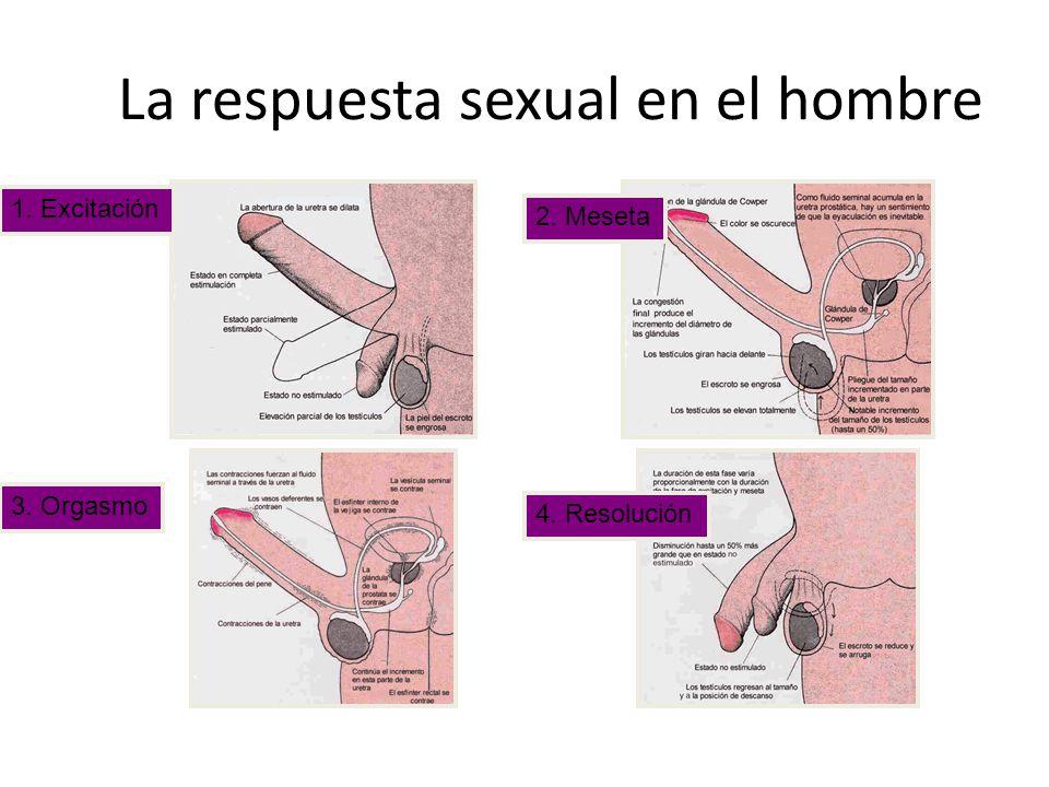 La respuesta sexual en el hombre