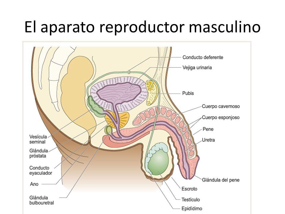 El aparato reproductor masculino
