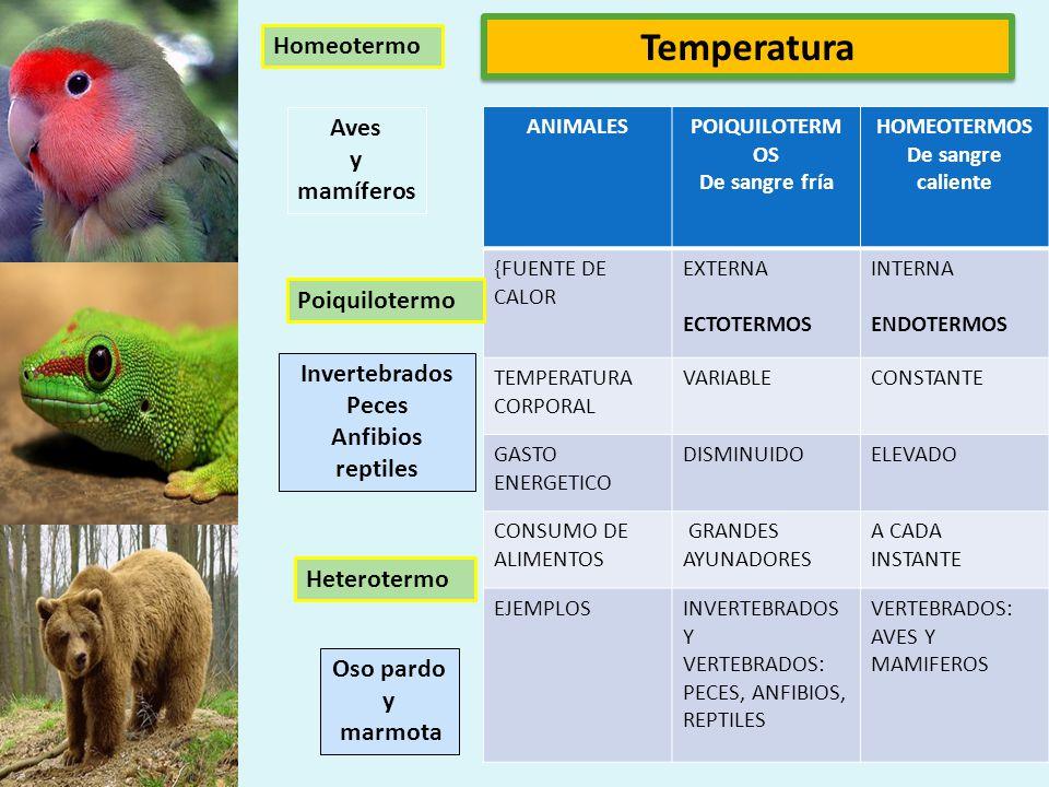 Temperatura Homeotermo Aves y mamíferos Poiquilotermo Invertebrados