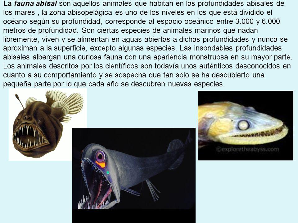 La fauna abisal son aquellos animales que habitan en las profundidades abisales de los mares , la zona abisopelágica es uno de los niveles en los que está dividido el océano según su profundidad, corresponde al espacio oceánico entre 3.000 y 6.000 metros de profundidad.